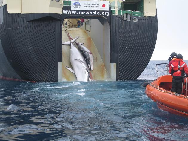 Rorqual et son petit hissés à bord du Nisshin Maru, baleinier japonais (navire-usine)